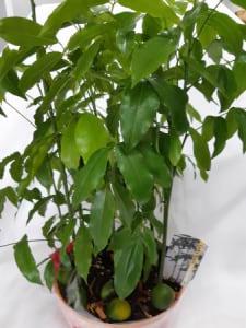 Lucky Bean Plant