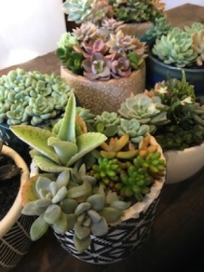 Succulent arrangements in ceramic pots